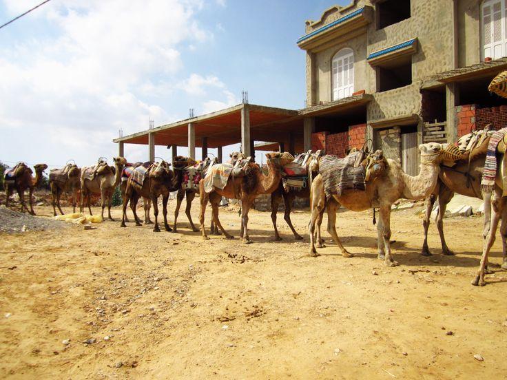 Caravan of camels in Tunisia