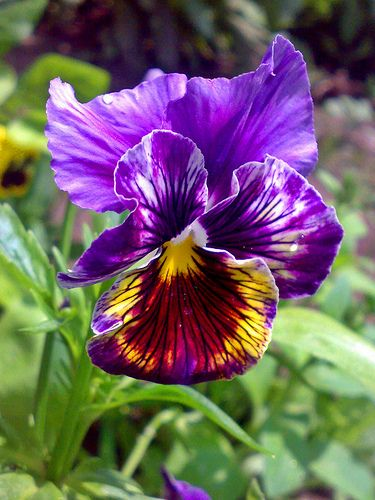 A delicate pansy from my garden | Ramona R, Flickr