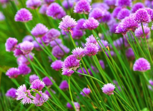 Chives - Delicious evergreen herb that will come back year after year. The slim, elegant dark green leaves can be snipped with scissors and used as a spicy addition to salads, or in soups, stews and curries. The pale mauve pom-pom like flowers, which are also edible and look wonderful when sprinkled over a summer salad.