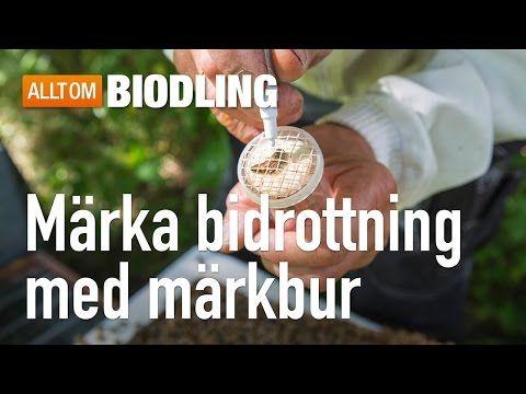 Märka bidrottning – Allt om biodling