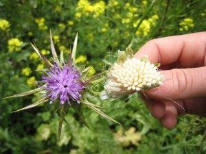 How to Harvest Milk Thistle: Most people consider milk thistle a pesky weed because it can grow tall and thorny, making it hard to even get near. However, it is loaded with medicinal benefits. The U.S. Nat'l Cancer Institute reports that milk thistle contains the active ingredient silymarin.  The silymarin from milk thistle is in the seeds, which are used to make extracts or tinctures for medicinal use.