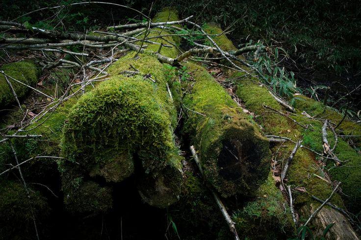 「忘れられて苔むした丸太忘れられて苔むした丸太」のフリー写真素材を拡大