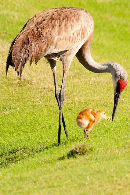 Sandhill Crane Chick with Mom -  The Chicks are also called colts.  The chicks usually stay with their parents for 9 to 10 months after hatching.