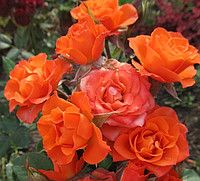 Розы спрей