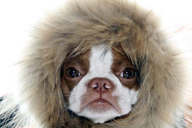 Cute Boston Terrier