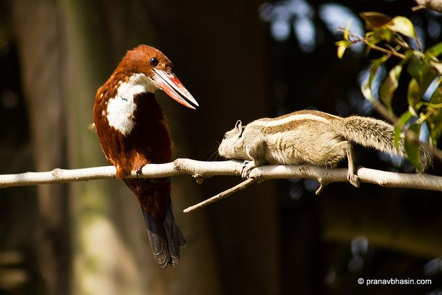 White-throated Kingfisher (Halcyon smyrnensis) also known as the White-breasted Kingfisher or Smyrna Kingfisher With Squirrel by Pranav Bhasin, via Flickr