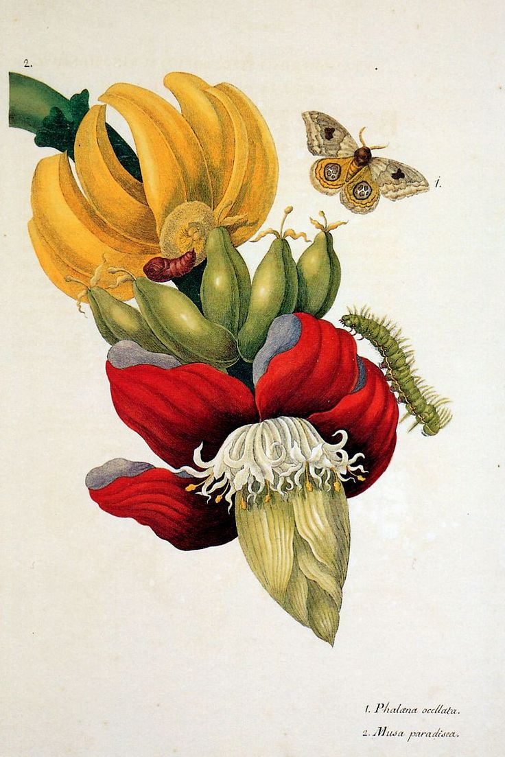 Botanical print. Maria Sibella Merian, 1647-1717.