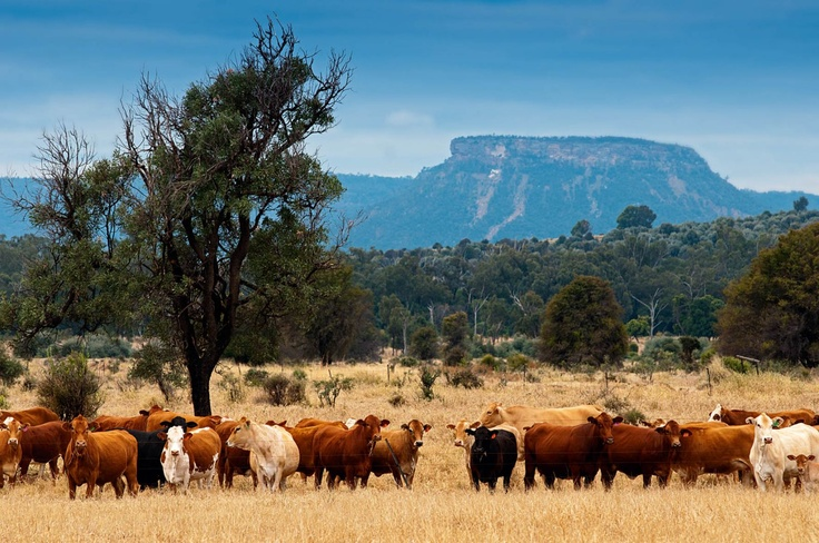 The Peart family has spent nearly 50 years turning their piece of brigalow country into a successful cattle station that operates in harmony with its natural environment.