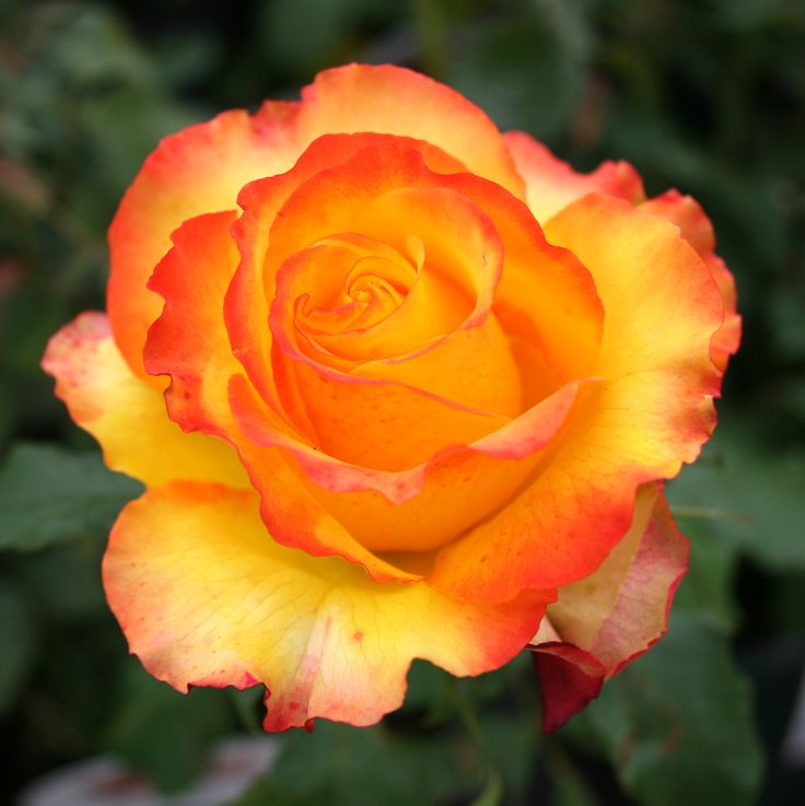 This beautiful rose is called Tequila Sunrise. the perfect name for it!