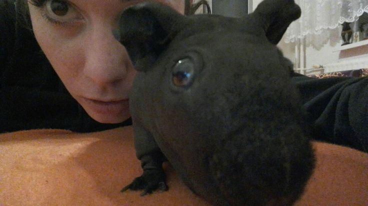 My little baby mini hippo, skinny hairless guinea pig