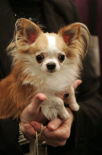 Long Haired Chihuahua.. I will own one, one day..