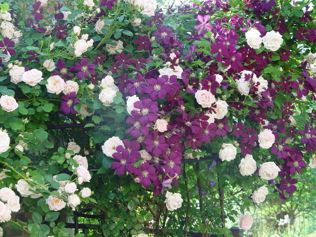 companion blooms clematis etoile violette new dawn rose. Black Bedroom Furniture Sets. Home Design Ideas
