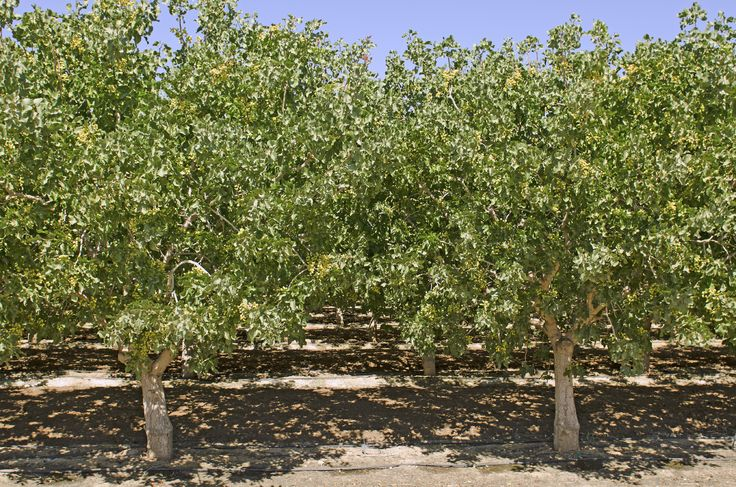 Pistachio Tree Care – How To Grow A Pistachio Tree