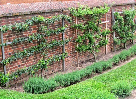 Espaliered Fruit Trees on garden wall - chicken run in front and perennials (lavender, rosemary, lemon grass, etc.) to cover the side