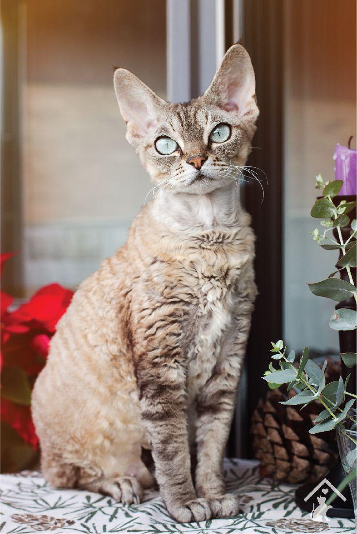 Devon Rex cats are quirky, cute and playful! Click the pin to read our guide. #devonrex #devonrexkittens #devonrexcats