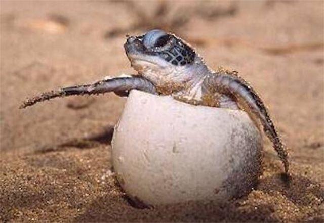 Cientos de tortugas llegan a playas de Quintana Roo para desovar.