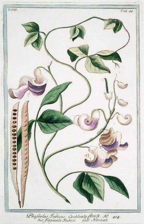 Caracala, Flor-concha, Trepadeira-caracala, Trepadeira-caracalla– Vigna caracalla   http://sergiozeiger.tumblr.com/post/114572787863/caracala-flor-concha-trepadeira-caracala  A caracala é uma trepadeira perene, leguminosa, volúvel e tropical, com belíssimas flores exóticas e suavemente perfumadas, porém ainda pouco conhecida e difundida. O nome caracala significa que vem de Caracas, na Venezuela. Da mesma família da ervilha, essa trepadeira de textura herbácea é capaz de crescer de 6 a 8…