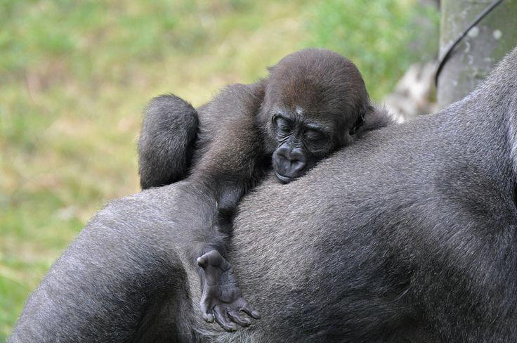 Westelijke laaglandgorilla (Gorilla gorilla gorilla) Blijdorp, Rotterdam, The Netherlands Conservation status: Critically Endangered