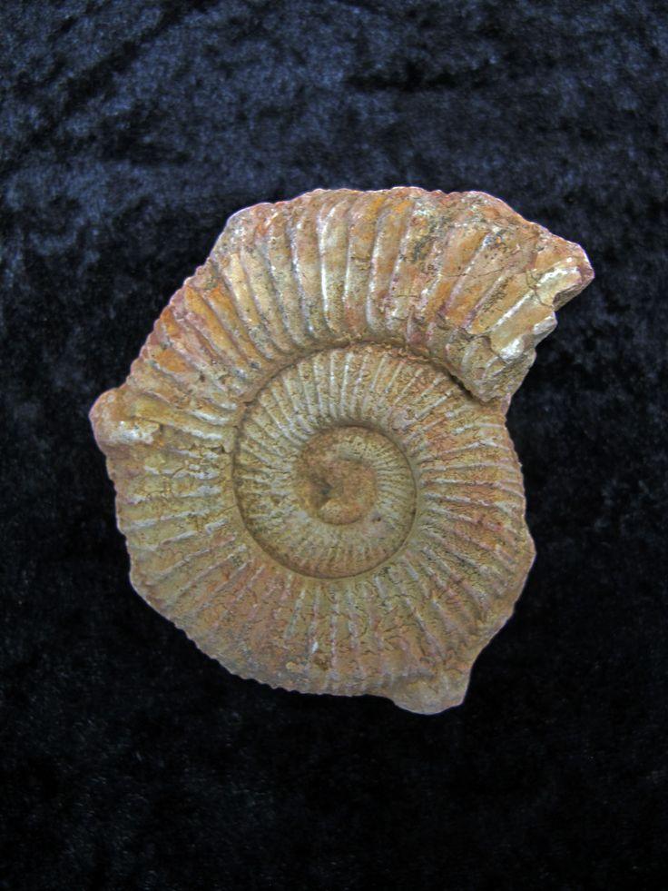 Perisphinctes Ammonite 1 Ammonite, Fossils, Fossil