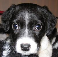 Aki the Border Collie Beagle mix