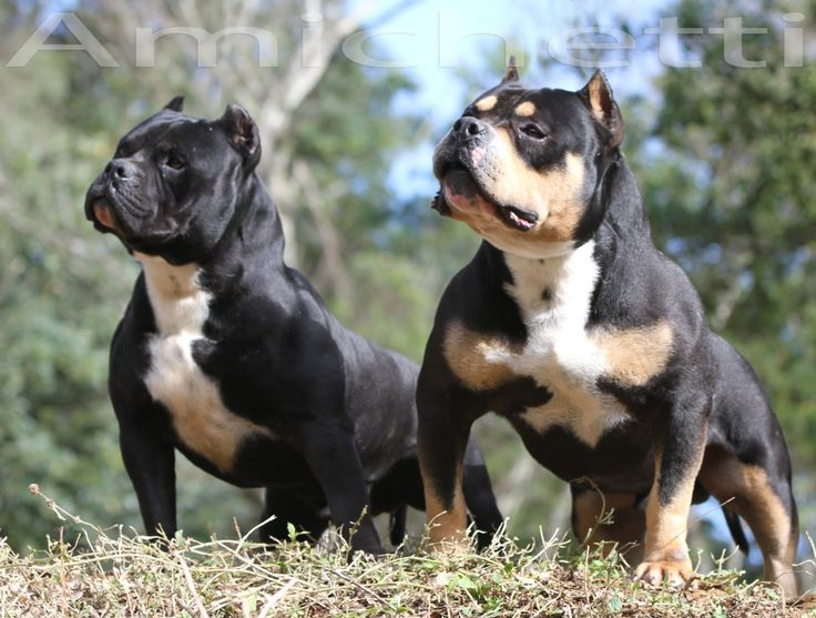 1217 Best American Bully Micro Pocket Classic