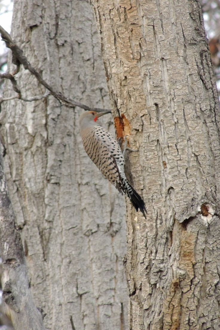 Northern Flicker ©Steve Frye. Wild Bird Company - Boulder, CO. Saturday Morning Bird Walk at Centennial Trail - April 18, 2015