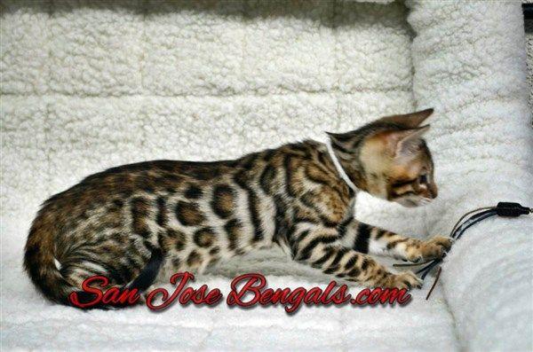 White Dsc 4654 Wm Bengal Kitten Cats And Kittens Bengal Cat Breeders
