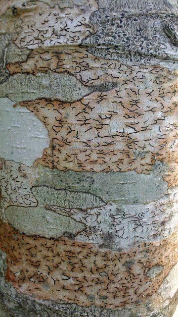 bark ofold alder trees (Alnus rubra?). Photographed in McKinleyville, California.