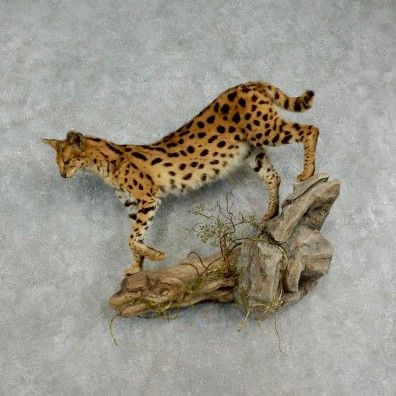 This brilliantly colored serval cat taxidermy mount is for sale @thetaxidermystore.com
