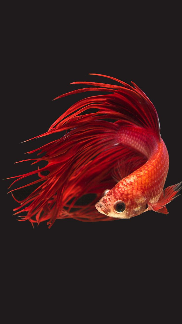 Wallpaper iphone ikan cupang - Apple Iphone 6s Wallpaper With Super Red Crowntail Betta
