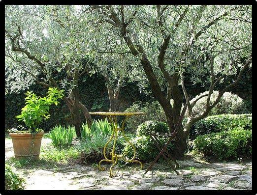10 best Oleaceae - Olive Trees images on Pinterest | Olive tree ...
