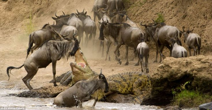 Moment a wildebeest jumps through the jaws of a hungry crocodile captured in 3 dramatic pictures (picture 1)