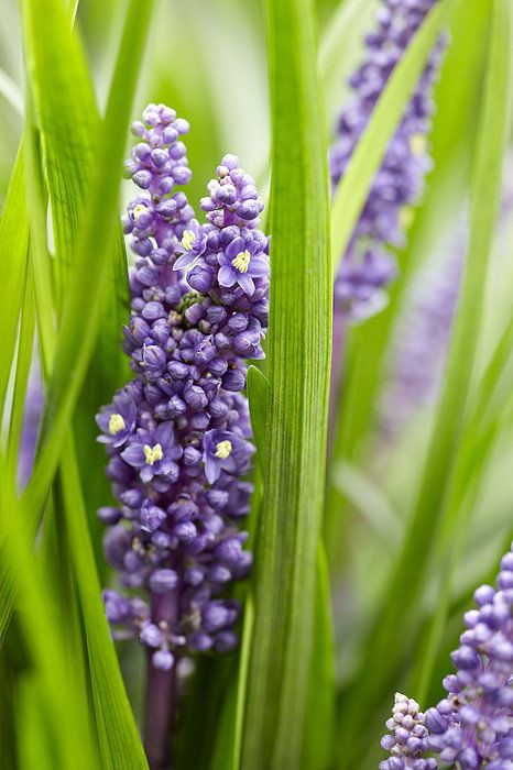 Border Grass Liriope Muscari Big Blue Print By Visionspictures