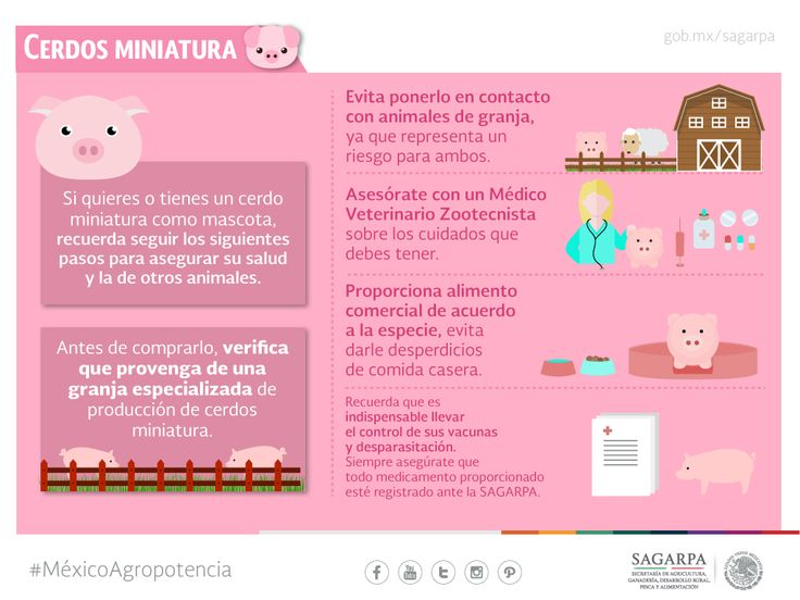 Cerdo miniatura. SAGARPA SAGARPAMX #MéxicoSiembraÉxito