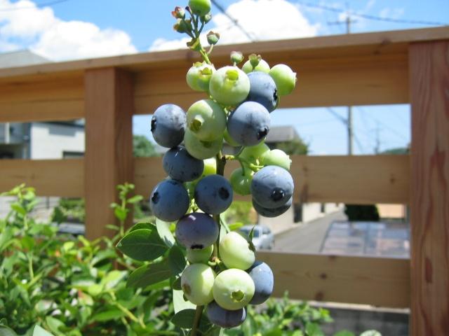 Southern Highbush Blueberry Summit http://berryslife.com
