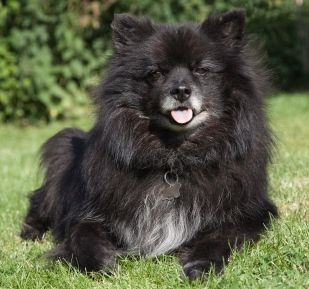 Chihuahua pomeranian mix, lots of pictures including different types of exotic pomeranians like the black, blue pomeranian puppy. The best free info on the very cute pomchi