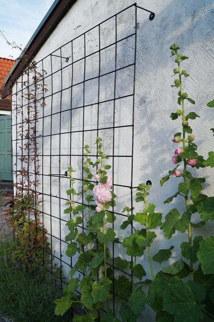 Hollyhocks for the backside of the garage