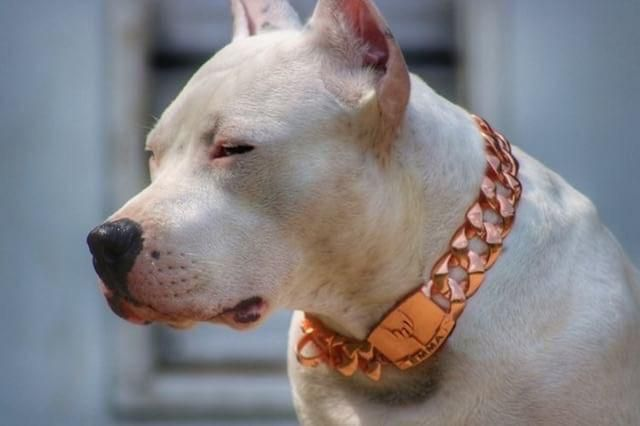 The Rio Rose Gold Dog Collar Dogs Dog Collars Leashes