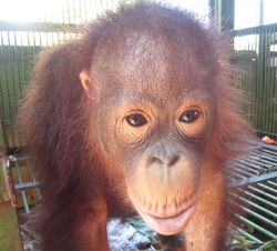 Ujil, whose rescue we had to reluctantly abandon the first time around due to aggression and threats of violence from his owner, is now safely in our care.:  Orangutang