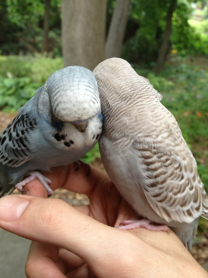 Cuddles - a Grey Cinnamon Normal and a Skyblue Opaline snuggling.