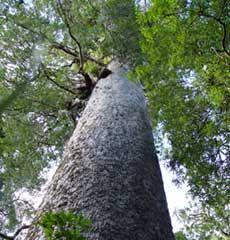 Tane Mahuta a giant Kauri Tree in the Waipoua Forest Hokianga: Favorite Places, Massiv Kauri, Kauri Coast, Kauri Trees, Forests Hokianga, Islands Trips, Giant Kauri, Big Trees, Places Local