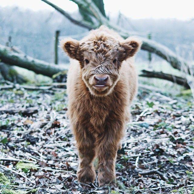 Amigurumi Highland Cow : +1000 ideias sobre Vacas Holandesas no Pinterest Vaca ...