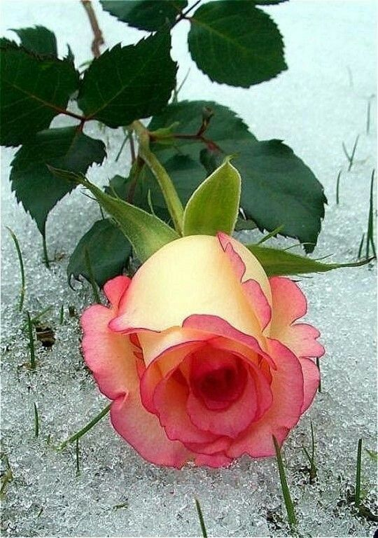 The perfect rose....