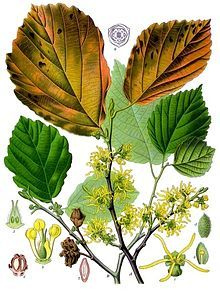 Witch-hazel - Wikipedia, the free encyclopedia