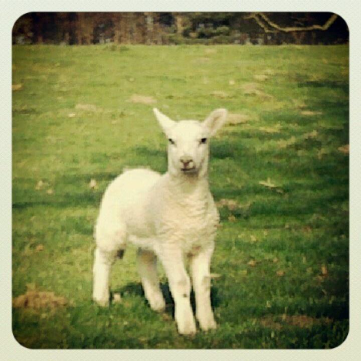 #fountainsabbey  @instagram #filter. Baby lamb