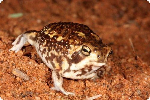 Bushveld Rain Frog (Breviceps adspertus) Werner Conradie, Port Elizabeth, South Africa