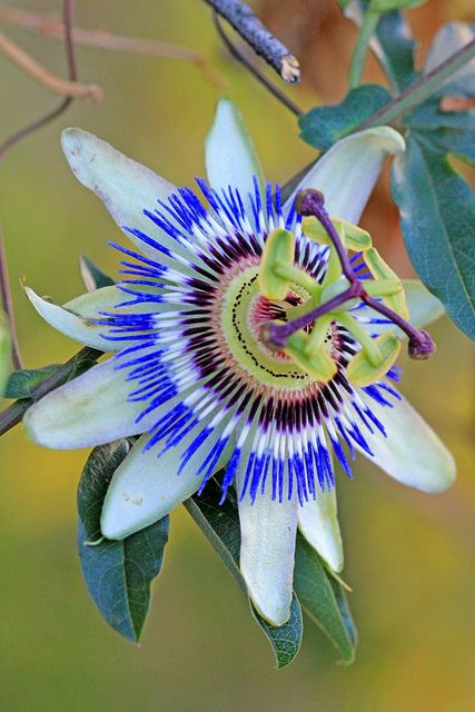 Passion flower - we had these in our back yard growing up.  They take over but are so interesting looking and beautiful when there are many in full bloom on the vine.