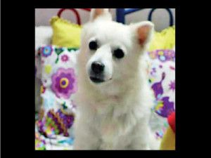 Pune Animal Activist files FIR against pet owner for euthanizing a healthy 9 year old Pomerian dog.