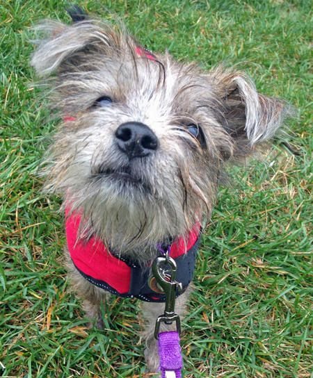 Violet the Yorkie Mix | Mixed breed dogs | Pinterest