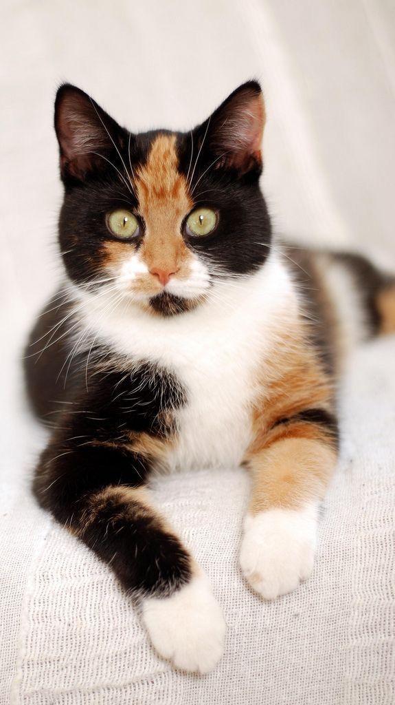 f065aa8caa8425 The eyes have it! #MyCalicoCats Erma Bombeck, Calico Cats, Gato Calico,